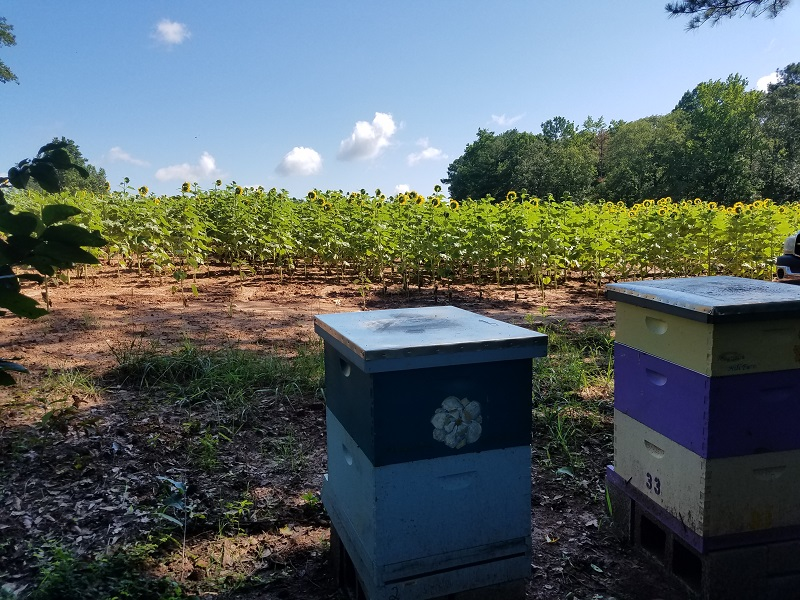 Hives on sunflower plot