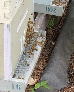 Bees - May 2018