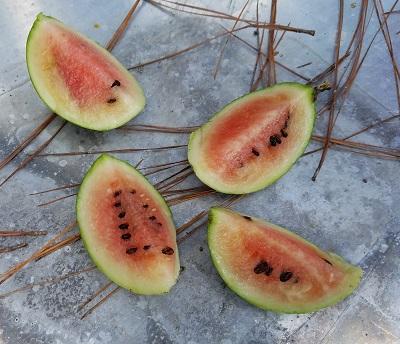 mini-melon
