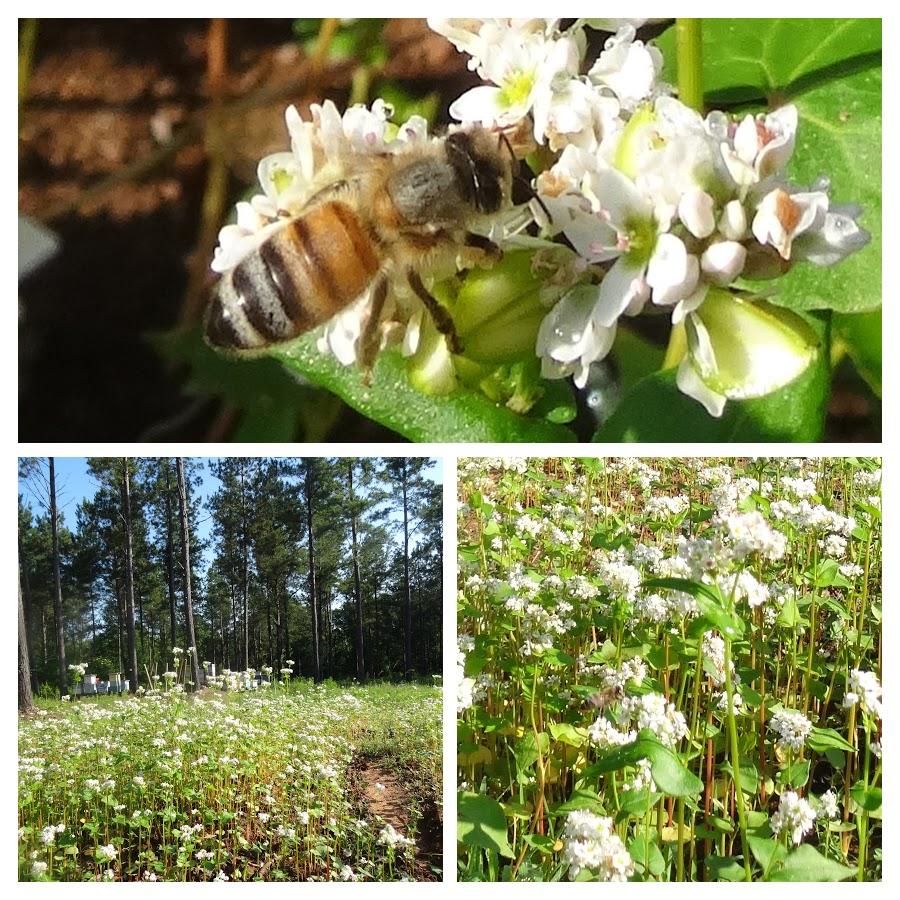 Buckwheat bees
