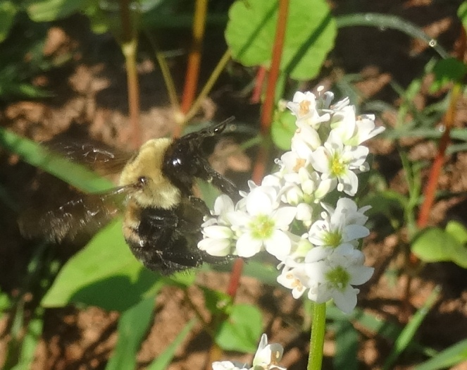 bumble bee on buckwheat