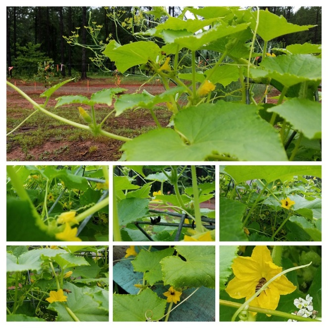20190609 Bees on Cukes