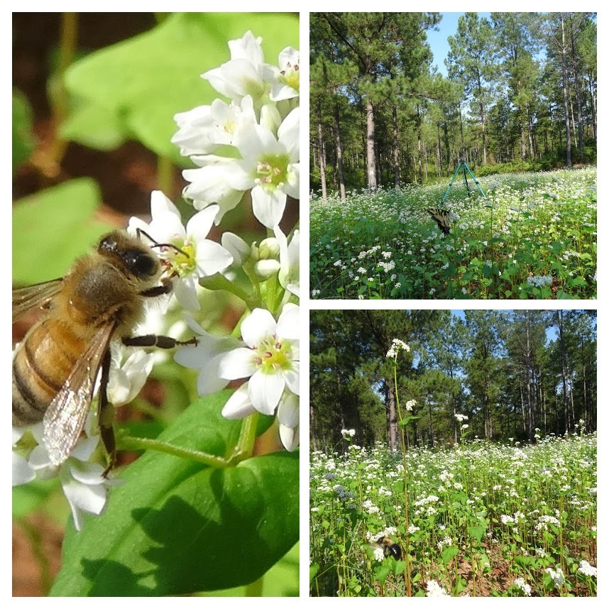 20190908 Bee on Buckwheat-COLLAGE